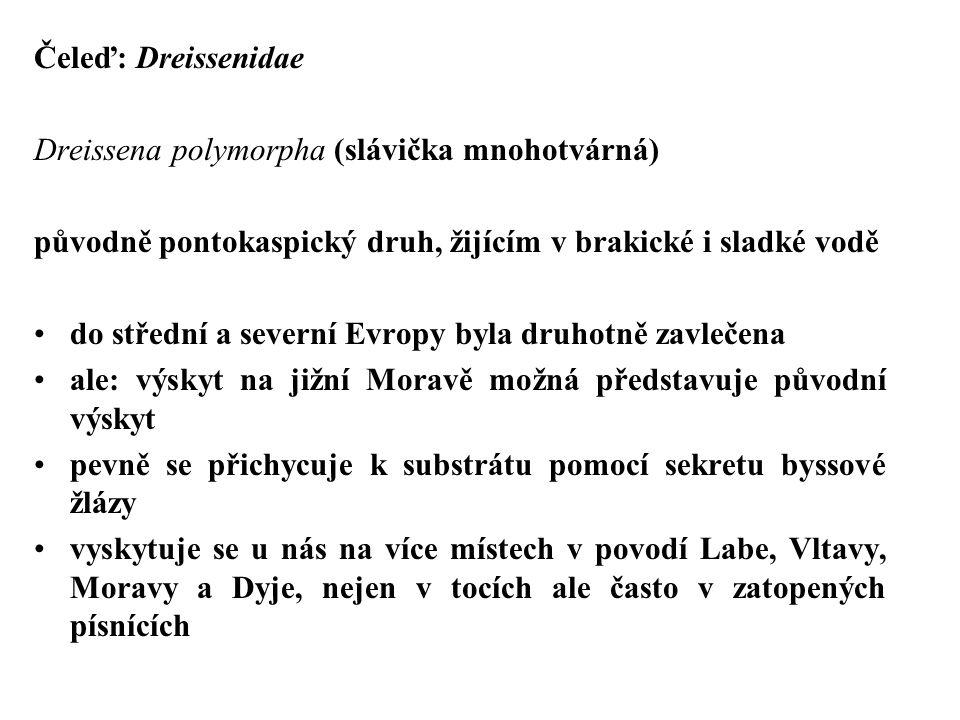 Čeleď: Dreissenidae Dreissena polymorpha (slávička mnohotvárná) původně pontokaspický druh, žijícím v brakické i sladké vodě.