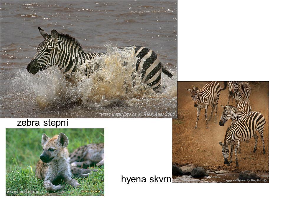 zebra stepní hyena skvrnitá