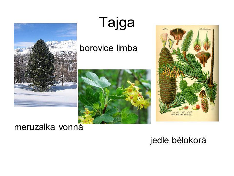 Tajga borovice limba meruzalka vonná jedle bělokorá