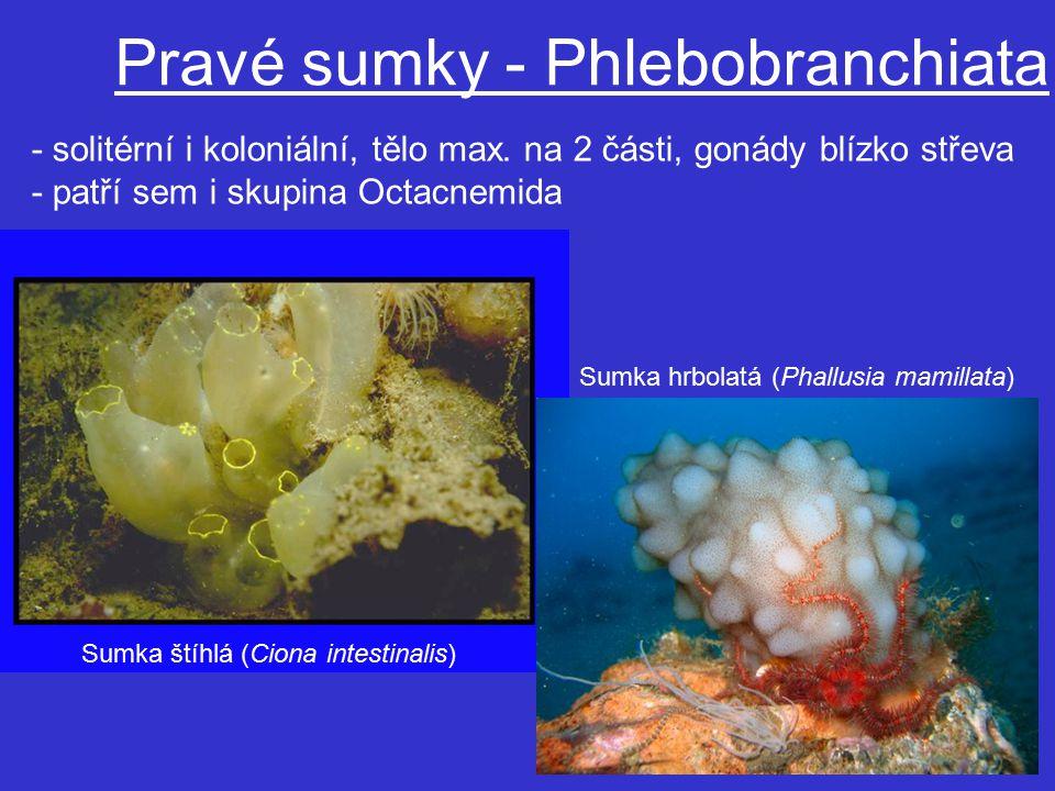 Pravé sumky - Phlebobranchiata
