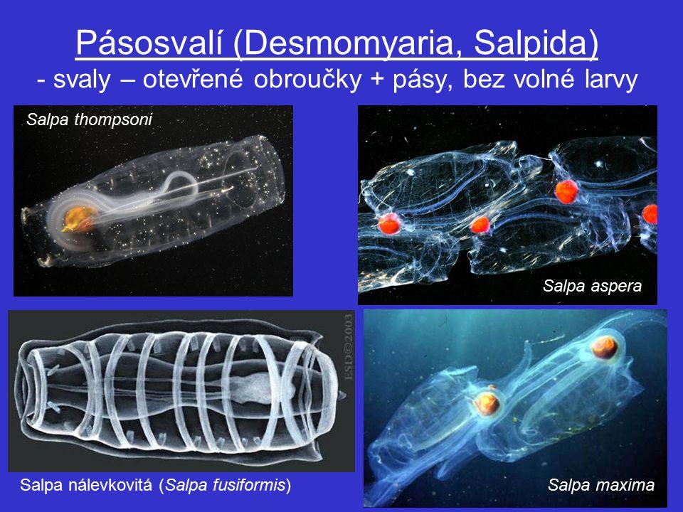 Pásosvalí (Desmomyaria, Salpida) - svaly – otevřené obroučky + pásy, bez volné larvy