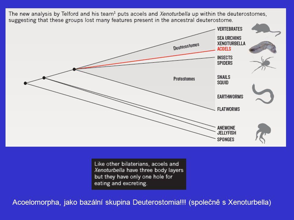 Acoelomorpha, jako bazální skupina Deuterostomia