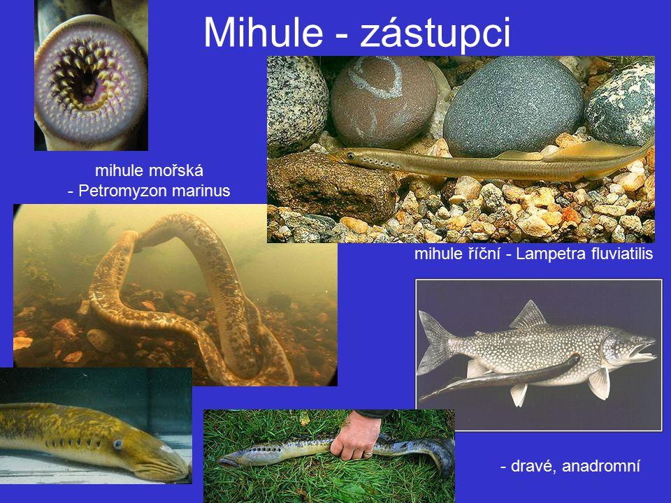 Mihule - zástupci mihule mořská - Petromyzon marinus