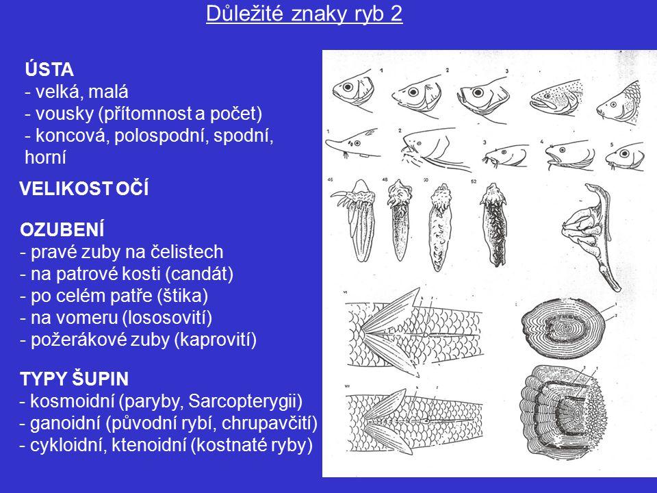 Důležité znaky ryb 2 ÚSTA velká, malá vousky (přítomnost a počet)
