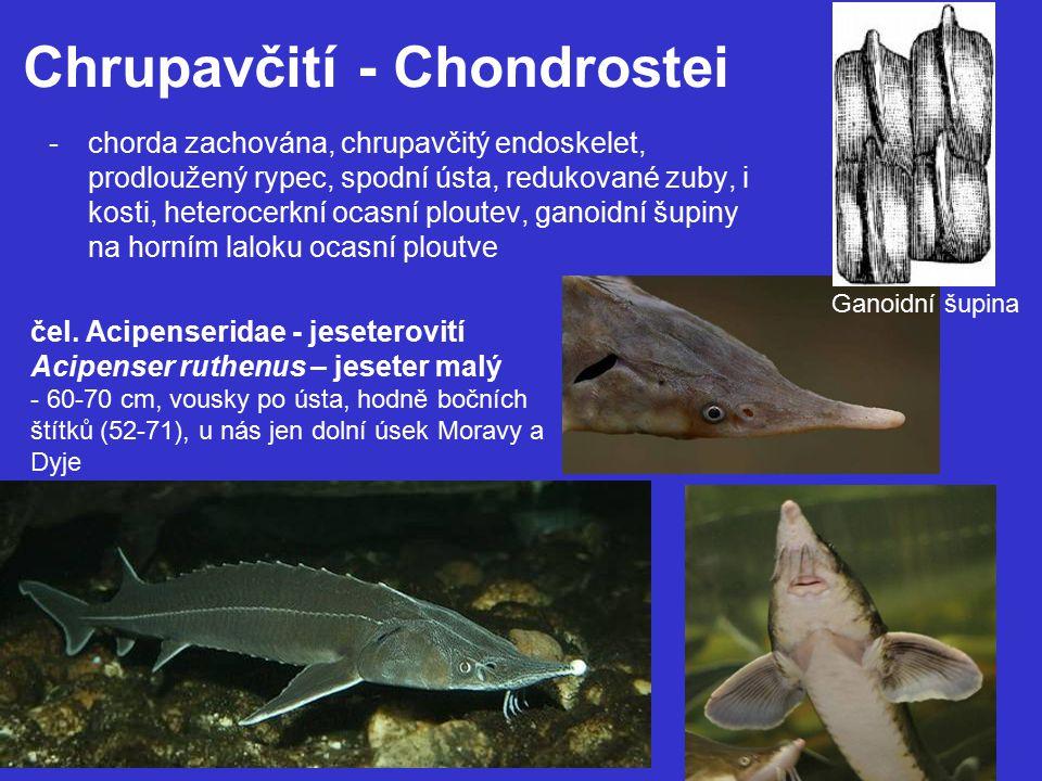 Chrupavčití - Chondrostei