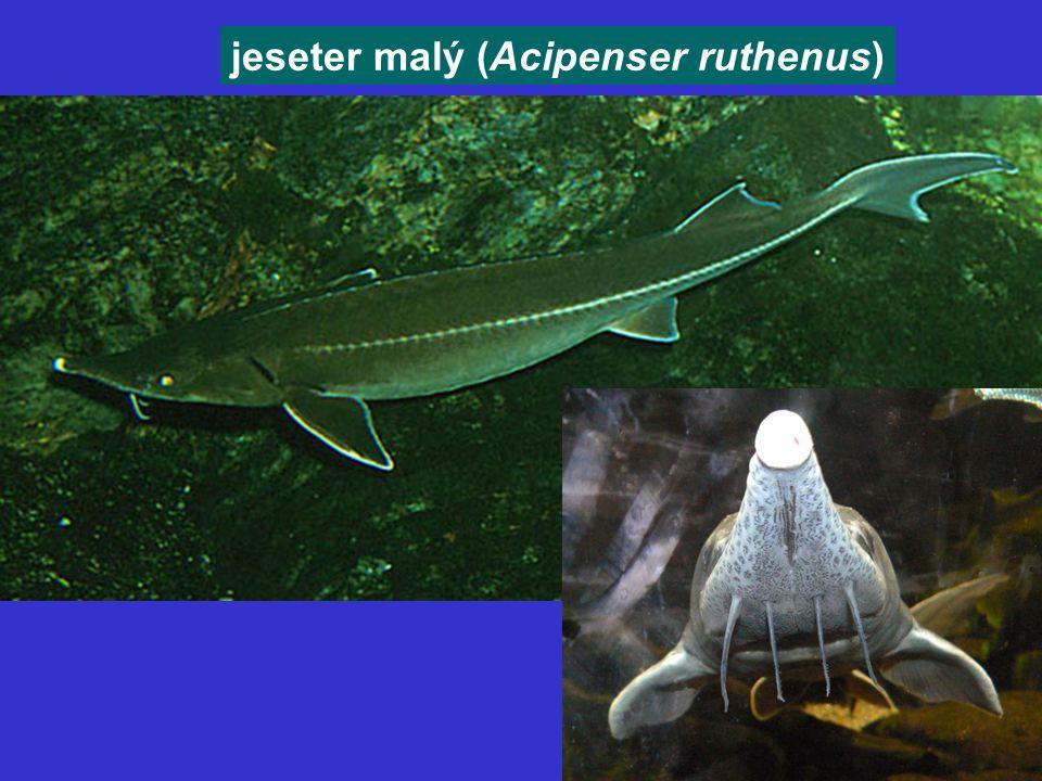 jeseter malý (Acipenser ruthenus)