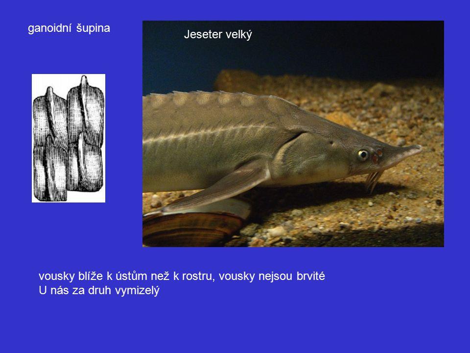 ganoidní šupina Jeseter velký. vousky blíže k ústům než k rostru, vousky nejsou brvité.