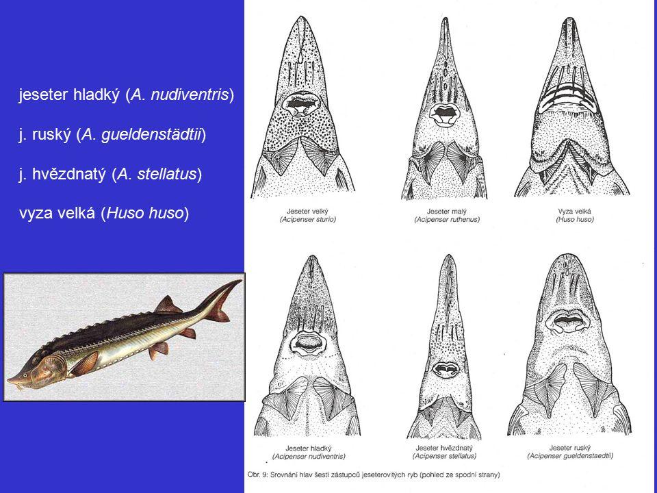 jeseter hladký (A. nudiventris)