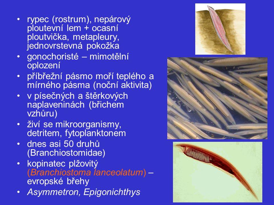 rypec (rostrum), nepárový ploutevní lem + ocasní ploutvička, metapleury, jednovrstevná pokožka