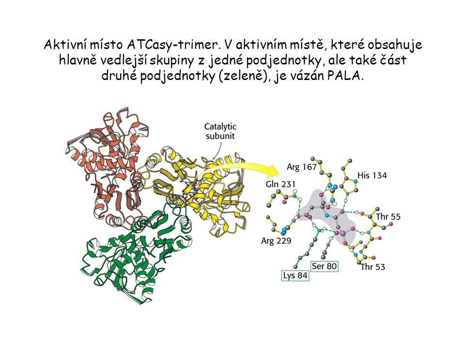 Aktivní místo ATCasy-trimer