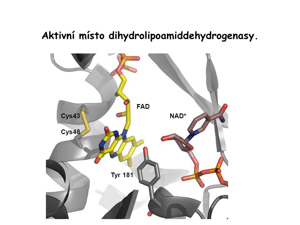 Aktivní místo dihydrolipoamiddehydrogenasy.