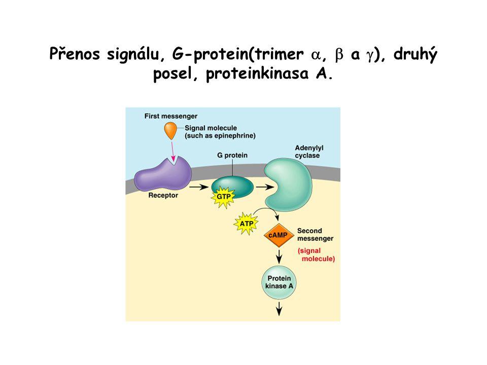 Přenos signálu, G-protein(trimer a, b a g), druhý posel, proteinkinasa A.