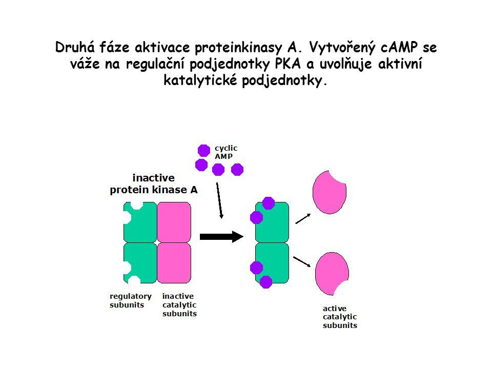 Druhá fáze aktivace proteinkinasy A