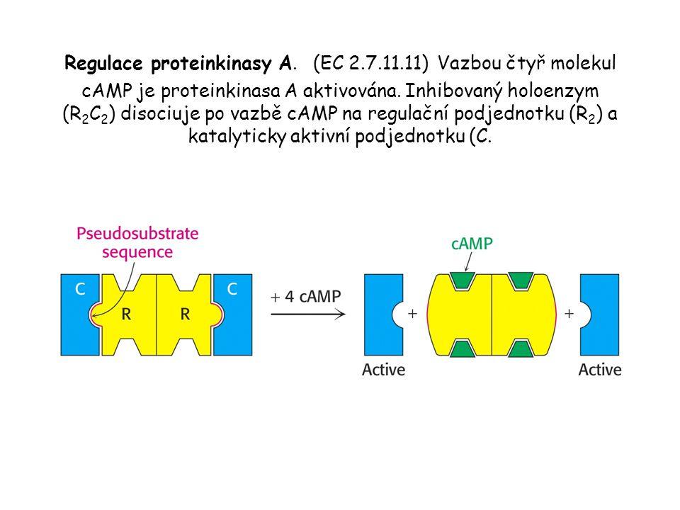 Regulace proteinkinasy A. (EC 2. 7. 11