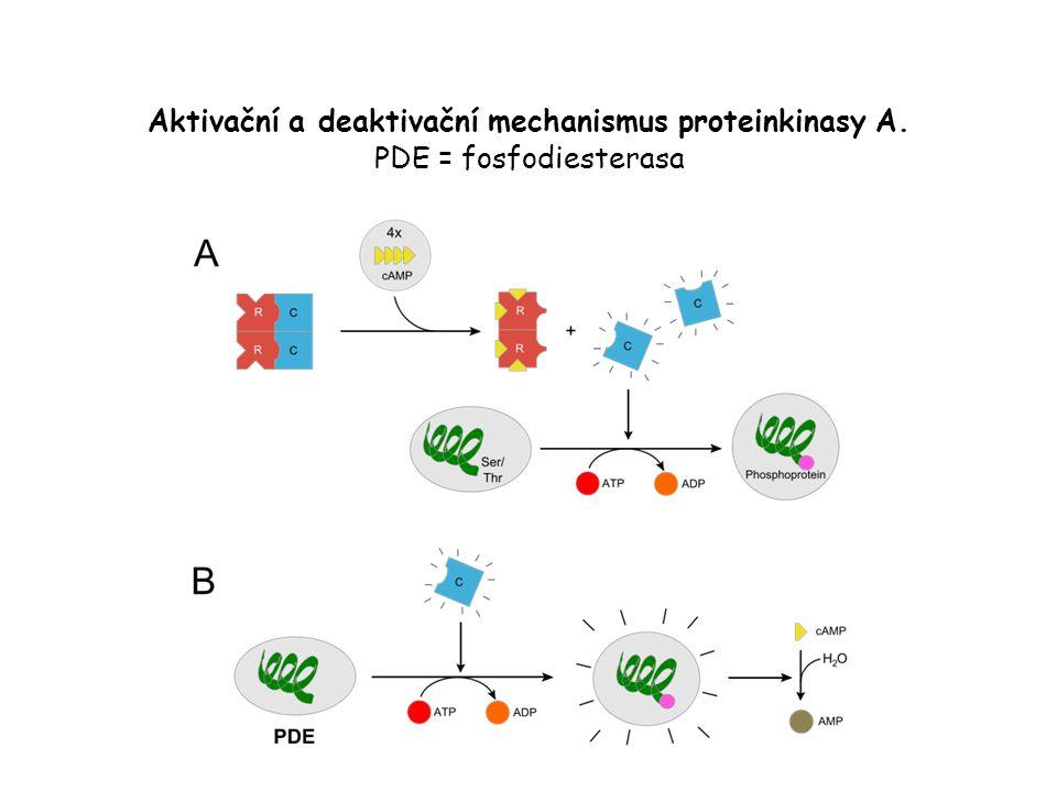 Aktivační a deaktivační mechanismus proteinkinasy A