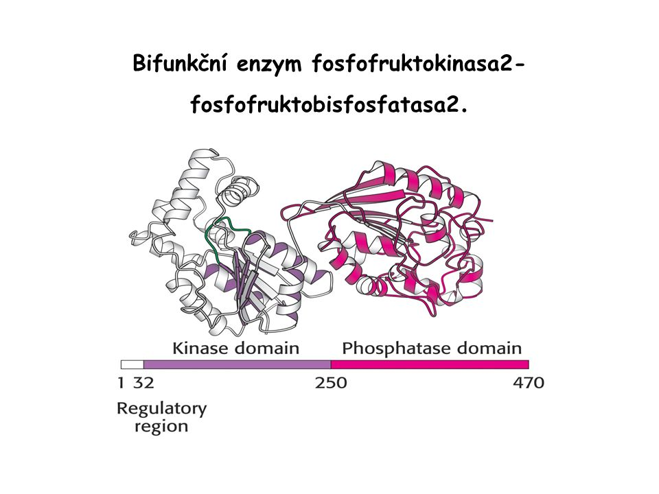Bifunkční enzym fosfofruktokinasa2-fosfofruktobisfosfatasa2.