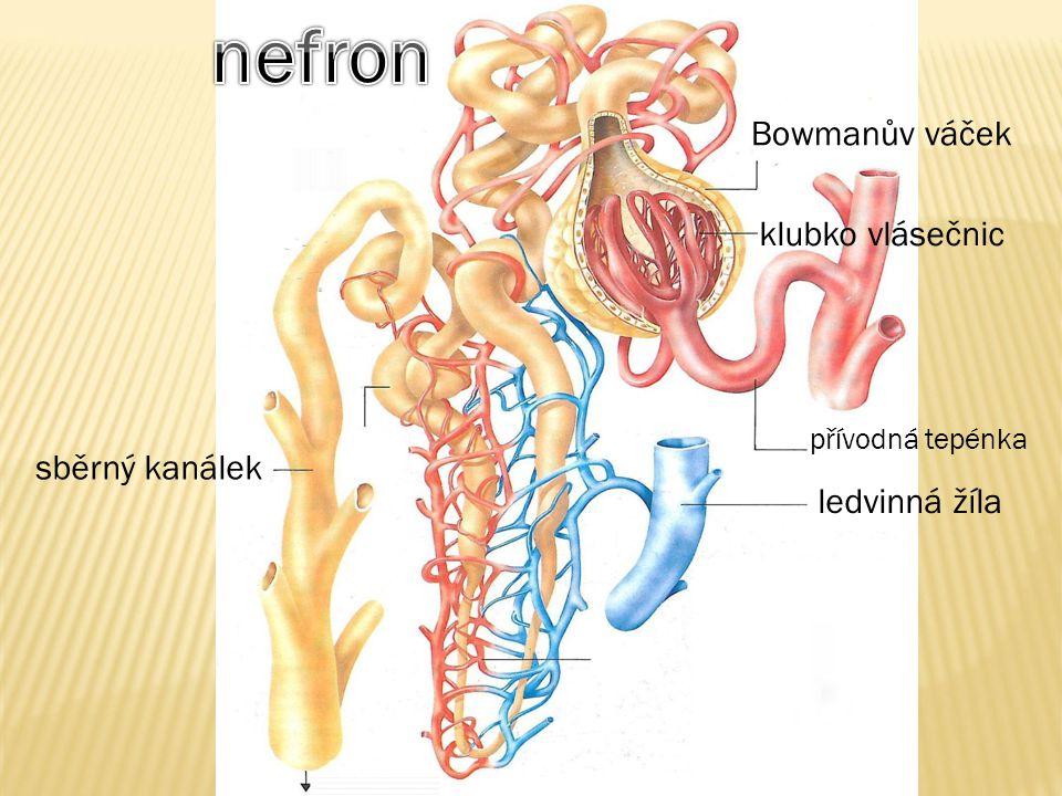 nefron Bowmanův váček klubko vlásečnic sběrný kanálek ledvinná žíla