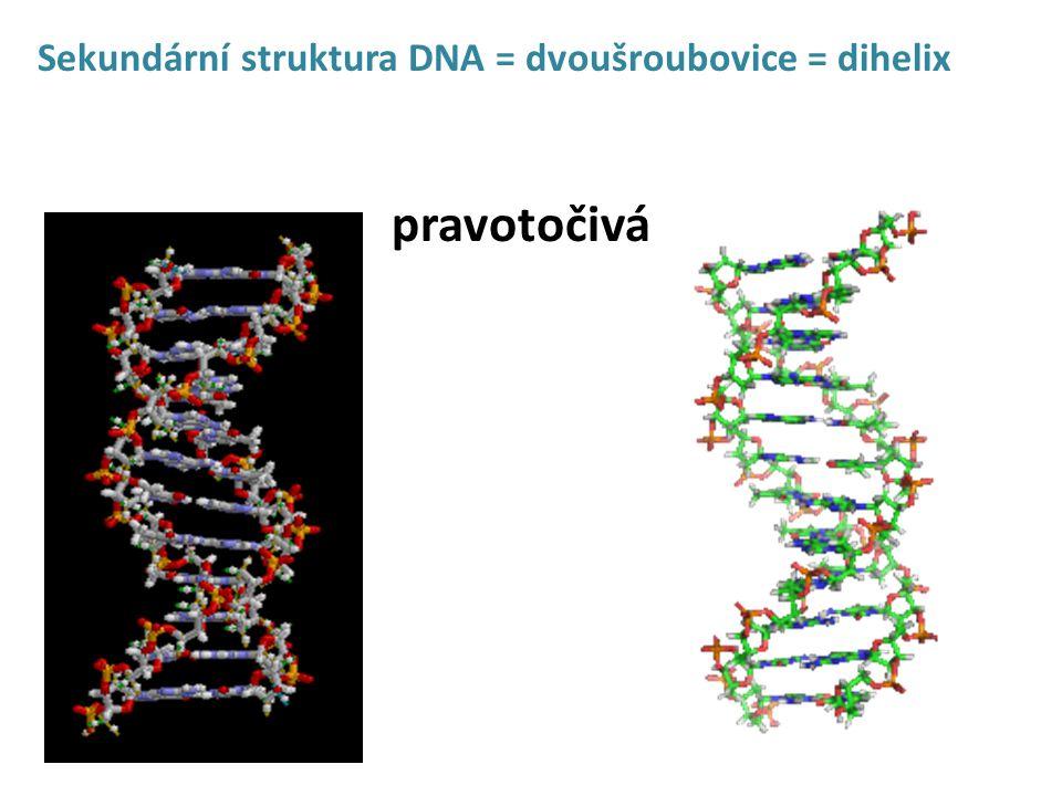 Sekundární struktura DNA = dvoušroubovice = dihelix