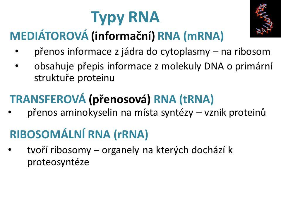 Typy RNA MEDIÁTOROVÁ (informační) RNA (mRNA)