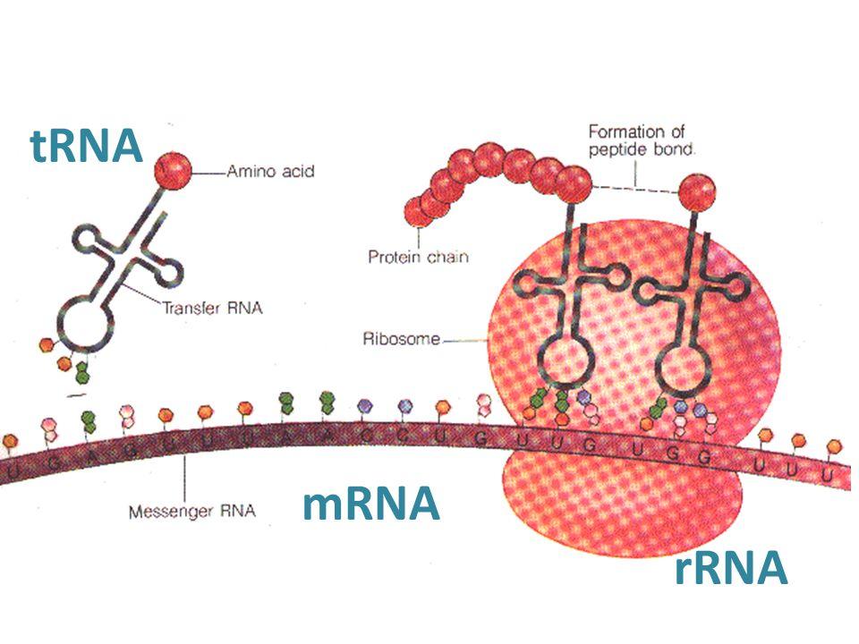 tRNA mRNA rRNA