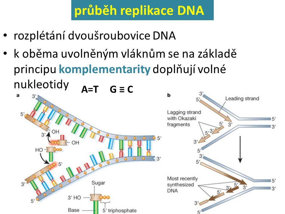 průběh replikace DNA rozplétání dvoušroubovice DNA