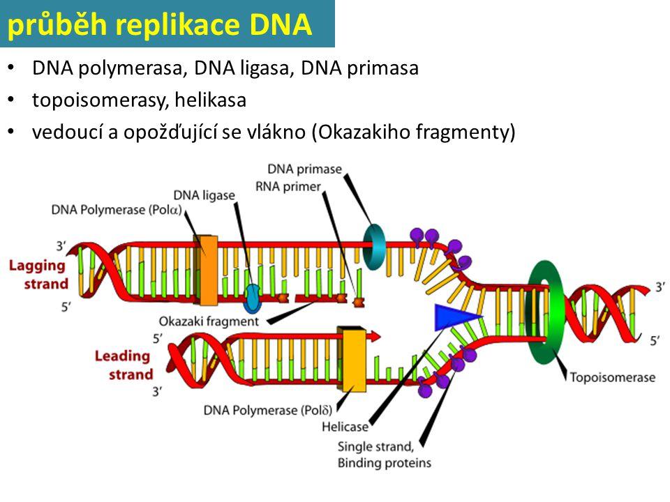 průběh replikace DNA DNA polymerasa, DNA ligasa, DNA primasa