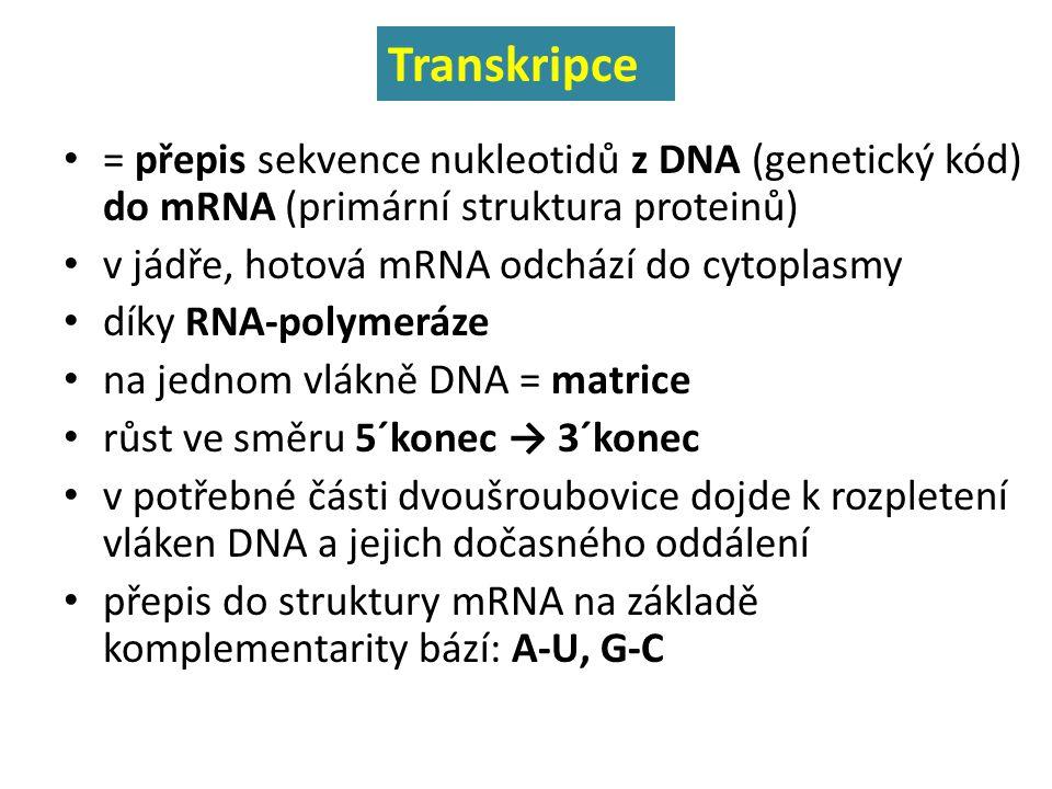 Transkripce = přepis sekvence nukleotidů z DNA (genetický kód) do mRNA (primární struktura proteinů)