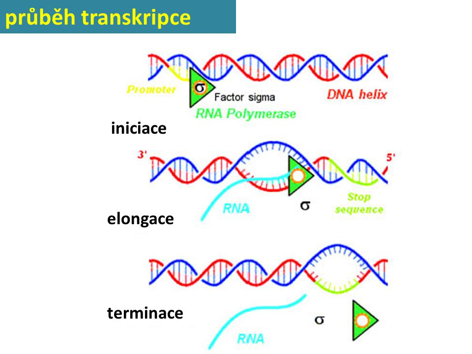průběh transkripce iniciace iniciace elongace terminace