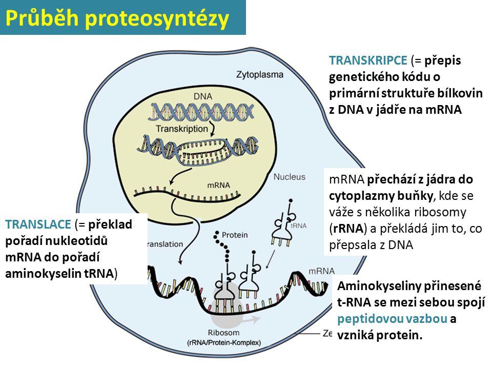 Průběh proteosyntézy TRANSKRIPCE (= přepis genetického kódu o primární struktuře bílkovin z DNA v jádře na mRNA.