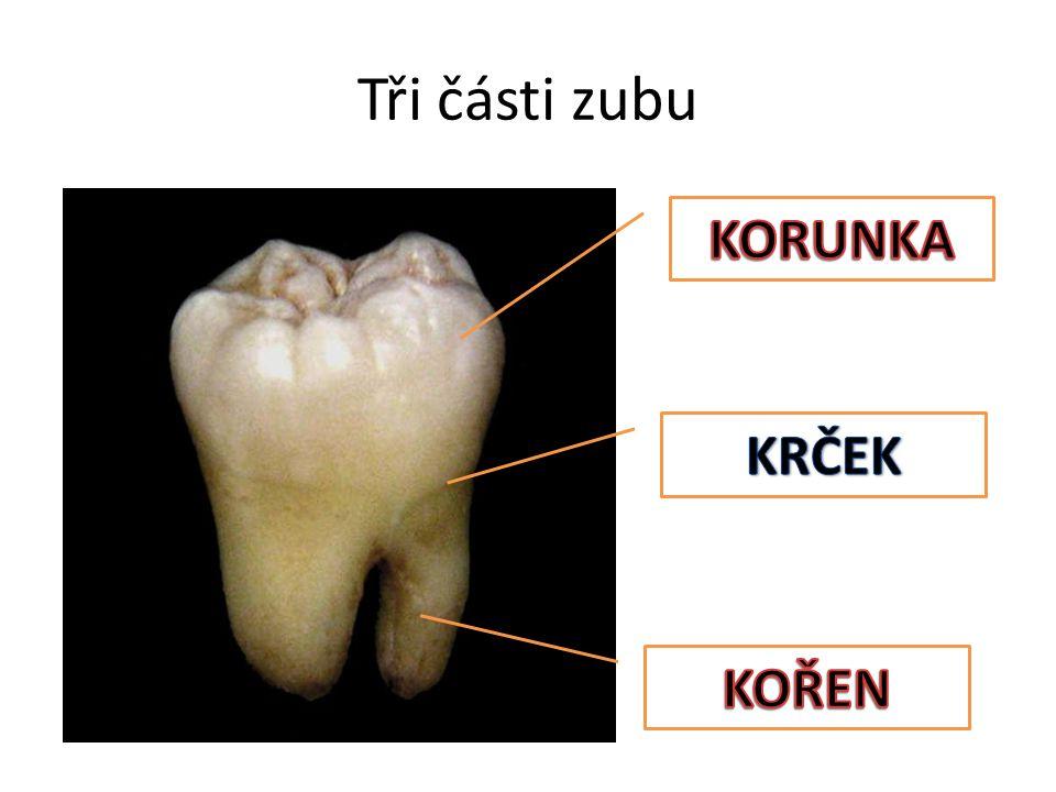 Tři části zubu KORUNKA KRČEK KOŘEN