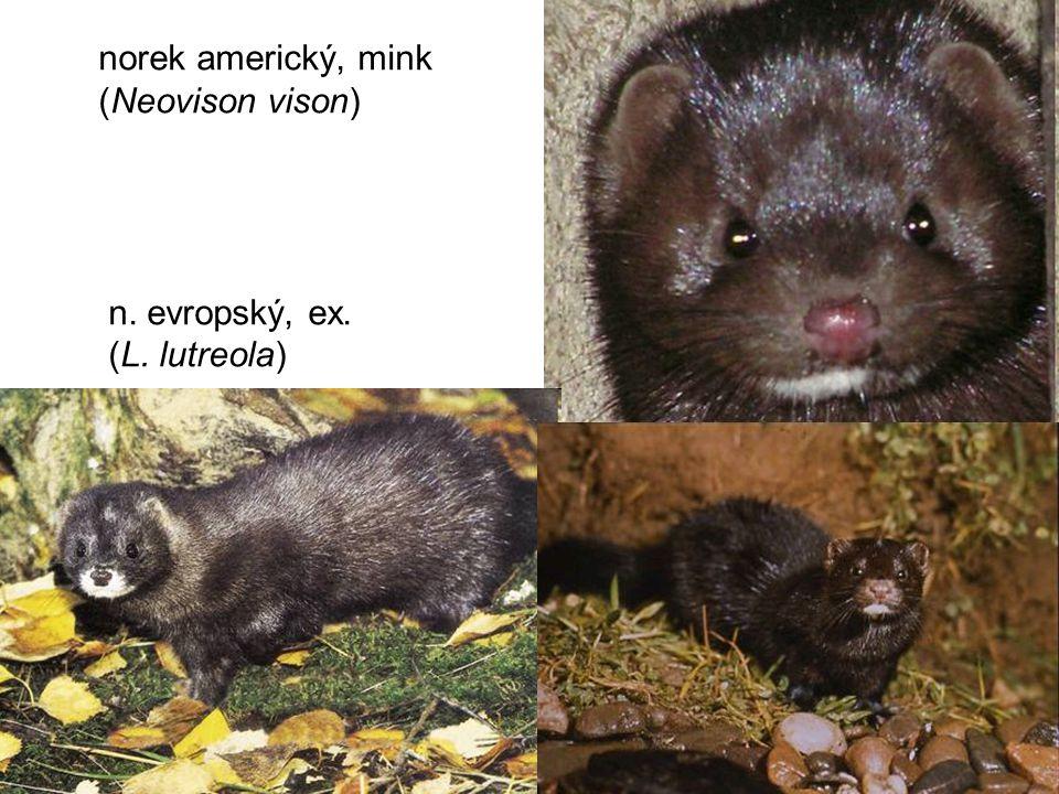 norek americký, mink (Neovison vison) n. evropský, ex. (L. lutreola)