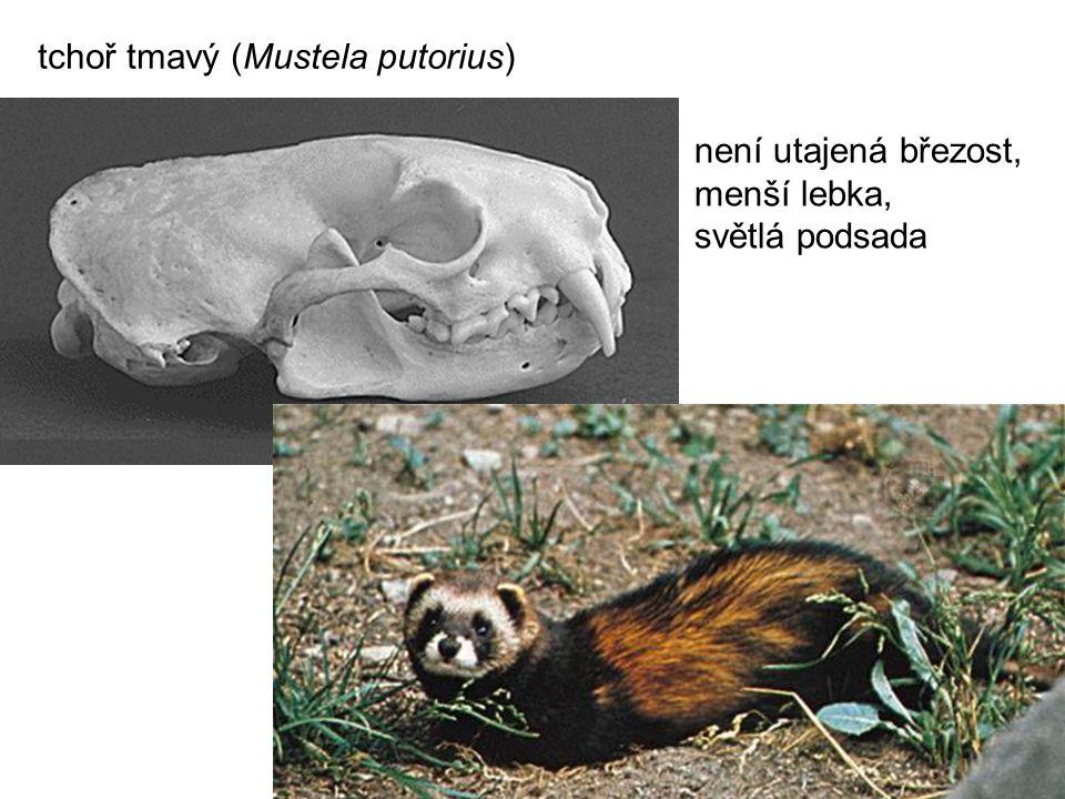 tchoř tmavý (Mustela putorius)