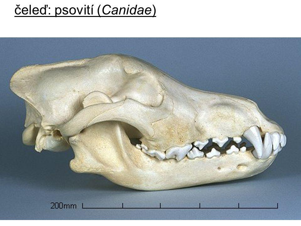 čeleď: psovití (Canidae)