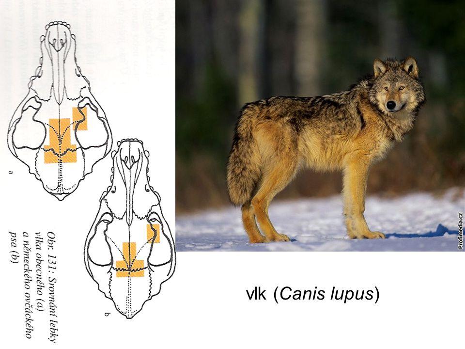 vlk (Canis lupus)