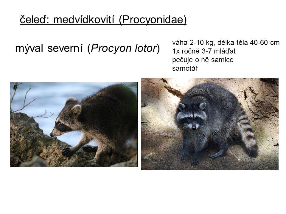 čeleď: medvídkovití (Procyonidae)