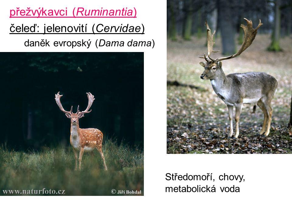 přežvýkavci (Ruminantia) čeleď: jelenovití (Cervidae)
