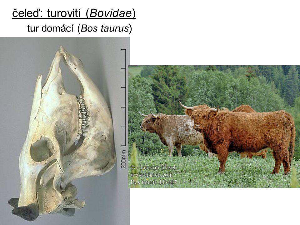 čeleď: turovití (Bovidae)