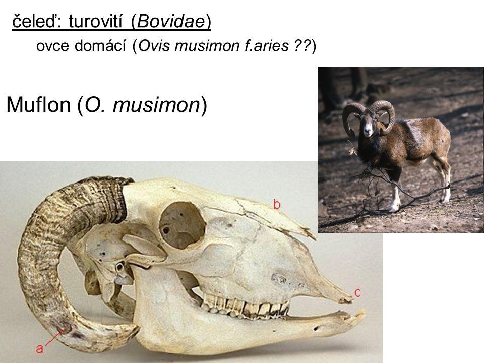 Muflon (O. musimon) čeleď: turovití (Bovidae)