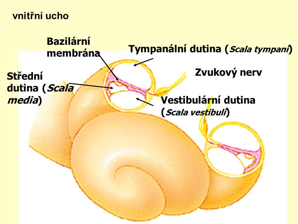 vnitřní ucho Tympanální dutina (Scala tympani) Bazilární membrána. Střední dutina (Scala media) Vestibulární dutina.