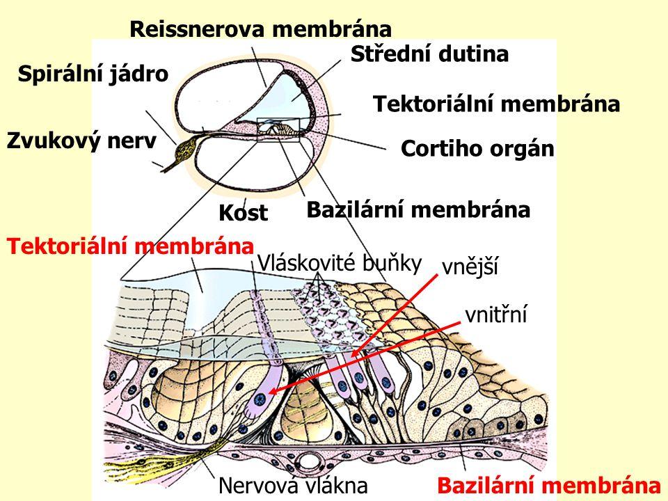 Reissnerova membrána Střední dutina. Spirální jádro. Tektoriální membrána. Zvukový nerv. Cortiho orgán.
