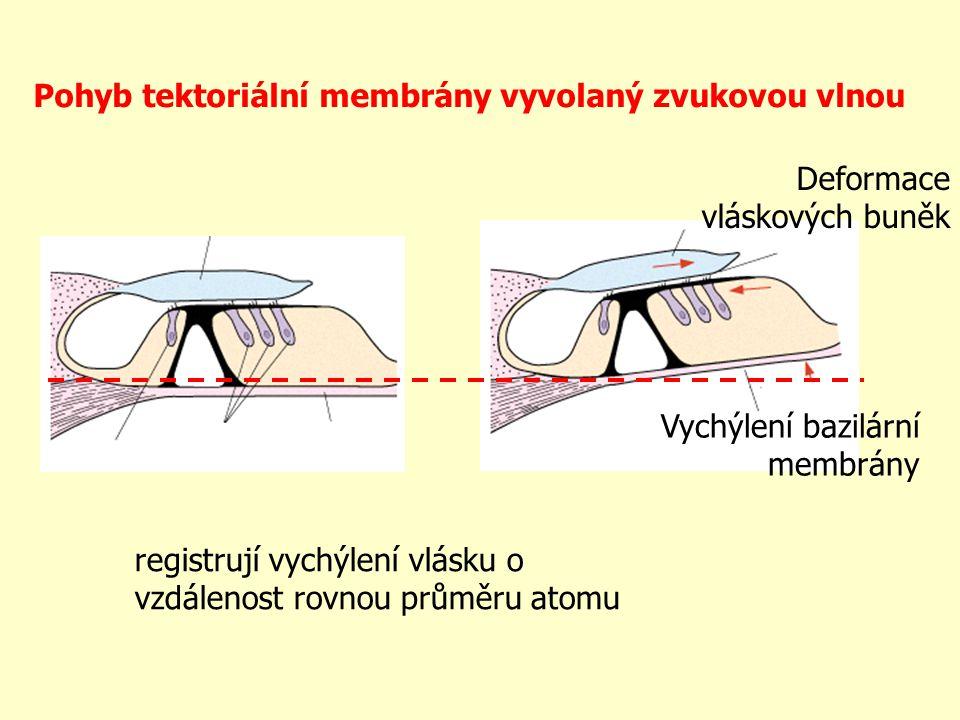 Pohyb tektoriální membrány vyvolaný zvukovou vlnou