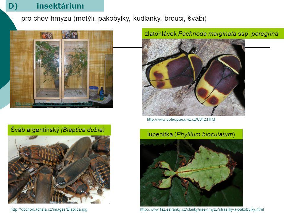 lupenitka (Phyllium bioculatum)