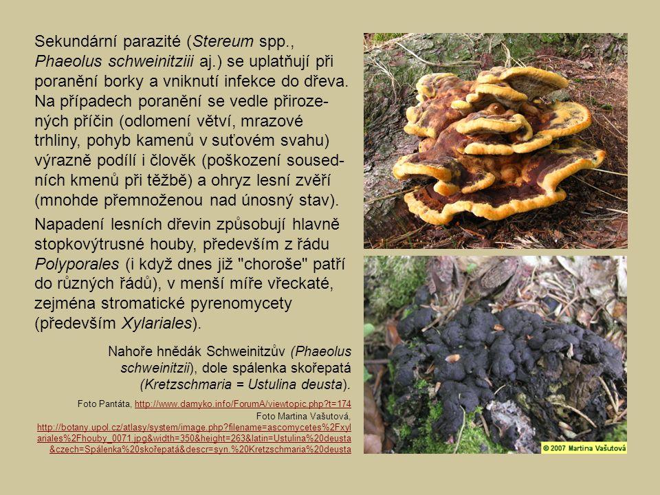 Sekundární parazité (Stereum spp. , Phaeolus schweinitziii aj