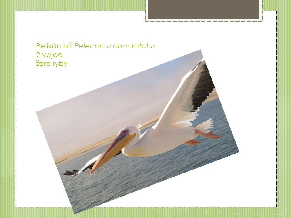 Pelikán bílí Pelecanus onocrotalus 2 vejce žere ryby
