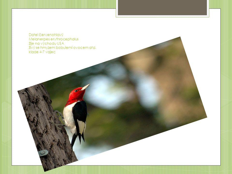 Datel červenohlavý Melanerpes erythrocephalus žije na východu USA živý se hmyzem bobulemi ovocem atd.