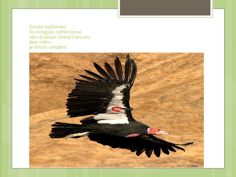 Kondor kalifornský Gymnogyps californianus obývá oblast Grand Canyonu žere mršiny je kriticky ohrožený