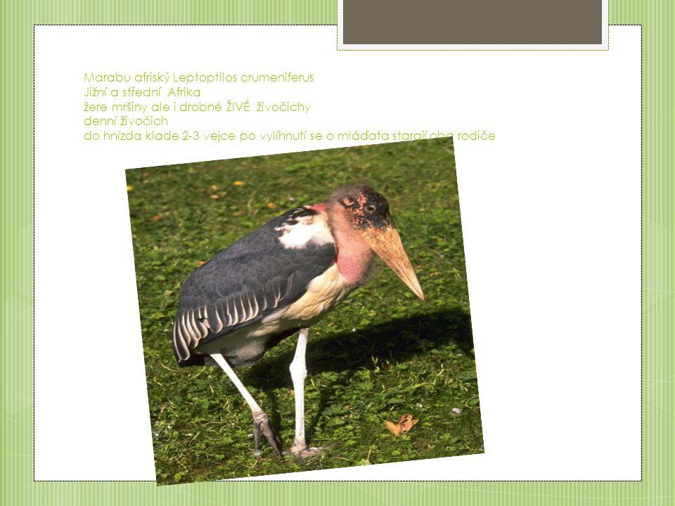 Marabu afriský Leptoptilos crumeniferus Jižní a střední Afrika žere mršiny ale i drobné ŽIVÉ živočichy denní živočich do hnízda klade 2-3 vejce po vylíhnutí se o mláďata starají oba rodiče