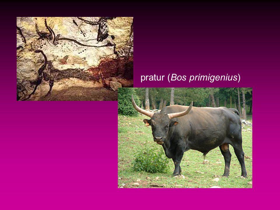 pratur (Bos primigenius)