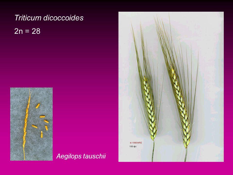 Triticum dicoccoides 2n = 28 Aegilops tauschii