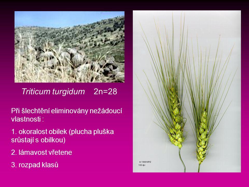 Triticum turgidum 2n=28 Při šlechtění eliminovány nežádoucí vlastnosti : 1. okoralost obilek (plucha pluška srůstají s obilkou)